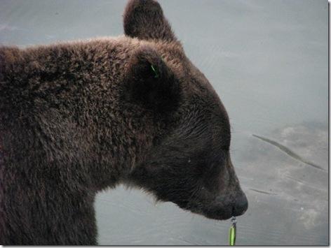 Brown Bear feeding at Chilkoot Lake 8-16-2011 7-16-55 PM 3264x2448