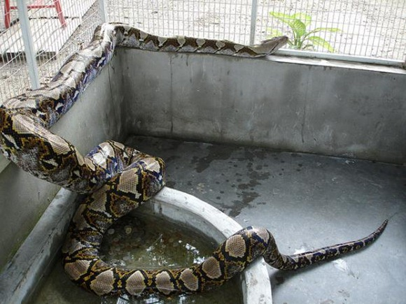 Reticulated-python.img_assist_custom-600x450