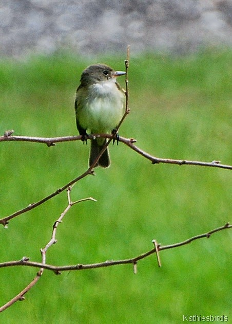 14. Willow flycatcher-kab
