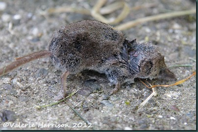 shrew