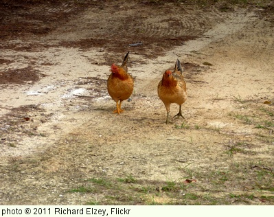 'Chickens' photo (c) 2011, Richard Elzey - license: http://creativecommons.org/licenses/by/2.0/