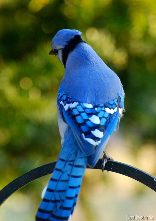 1. Blue Jay-kab