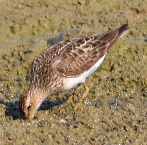 8-16-09, fish hatchery breeding pool, Pectoral Sandpiper, 9:30 a.m.