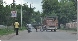 delhi gwalior 093 vaches