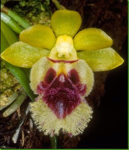 OR Gastrochilus retrocallus