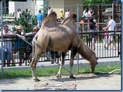 0292 Alberta Calgary - Calgary Zoo Destination Africa - Eurasia - Bactrian Camel