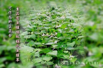 魚腥草2-葉