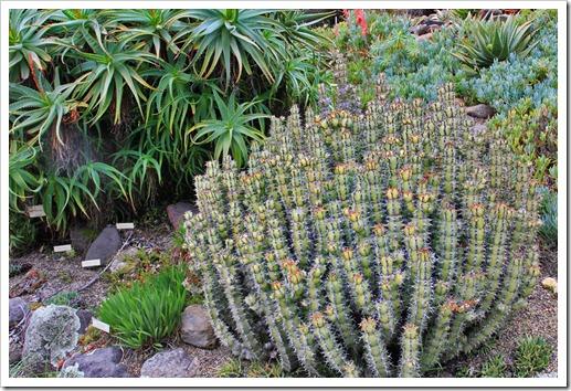 121228_UCBotGarden_Euphorbia-coerulescens_02