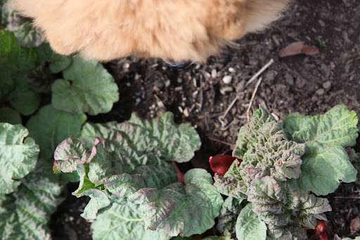 The rhubarb is also growing nicely, but I've heard you're not supposed to eat the leaves.