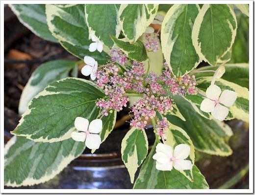 130524_Hydrangea-macrophylla-Tricolor_07