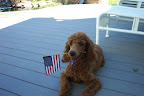 Karen M.'s poodle, Rufus, is quite the patriotic pup!