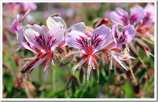 130428_UCBG_SpringSale_Pelargonium-cordatum_03