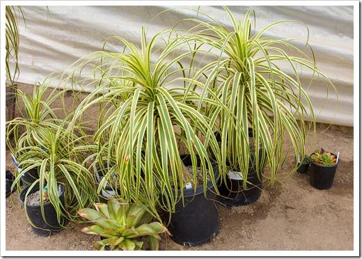 120928_SucculentGardens_Beaucarnea-recurvata-variegata