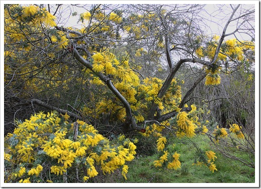 120211_UCSC_Arboretum_Acacia-baileyana_11