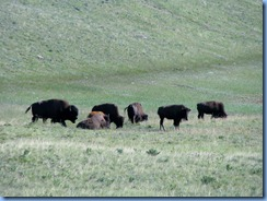 1264 Alberta - Waterton Lakes National Park - Bison Paddock Loop - Bison