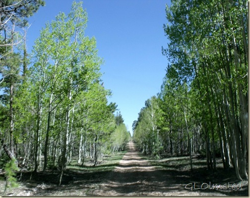 Forest along FR219 South Kaibab National Forest Arizona