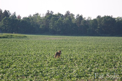 Coyote in the bean field