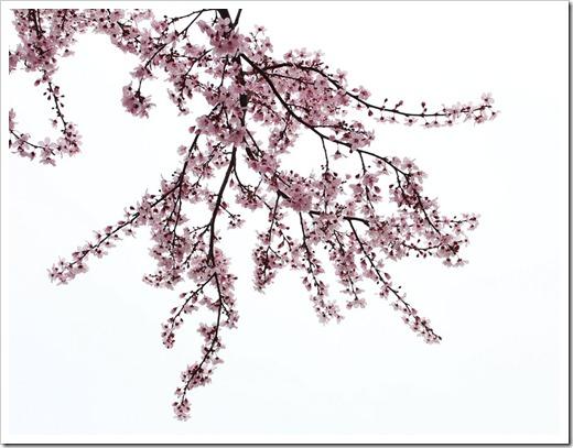 120228_Prunus-cerasifera-Krauter-Vesuvius_17
