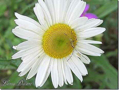 Daisy_Oxeyed_Bug