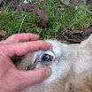Schaap wormen bloedarmoede 1.jpg