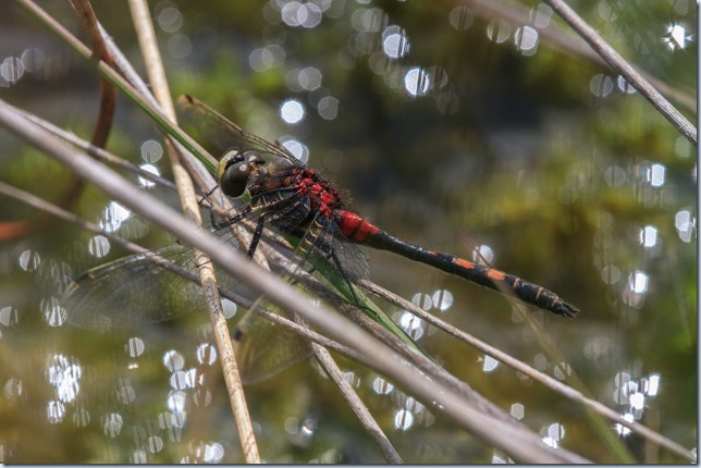White-faced_Darter-1