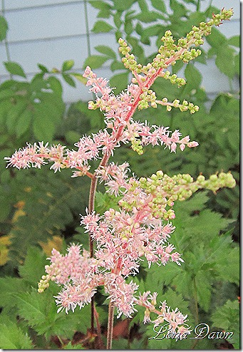 Astilbe_DelftLace_July2