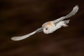 Barn Owl in Flight by Paul Ashton DPAGB BPE1