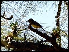 04 - Pine Warbler