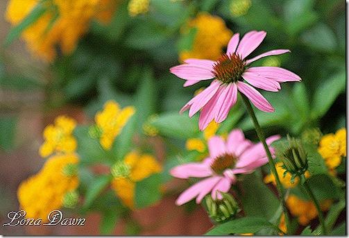 Echinacea_PowWowWildberry_Buds