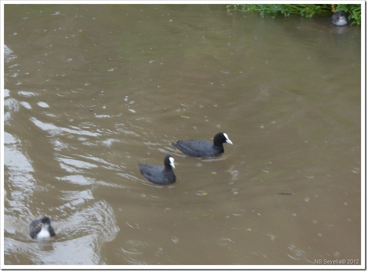 SAM_0746 Coots