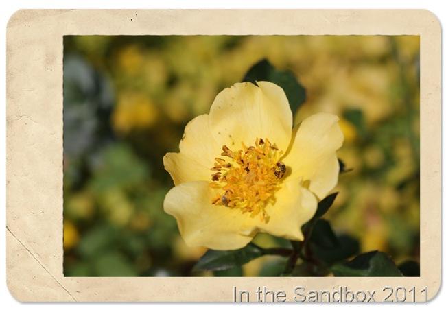 yellow rose in CS frame