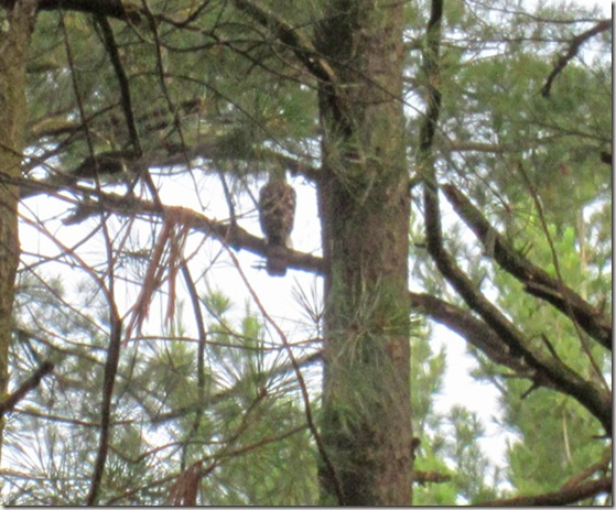 Harrier hawk in pine tree