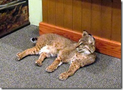 Another Bobcat!