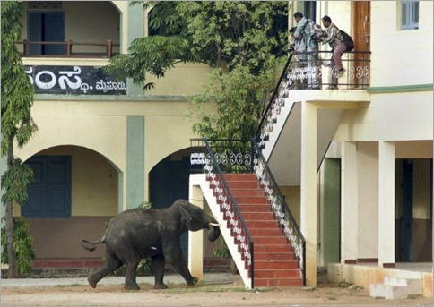 Elephants Invade Indian Town, Chaos Ensues