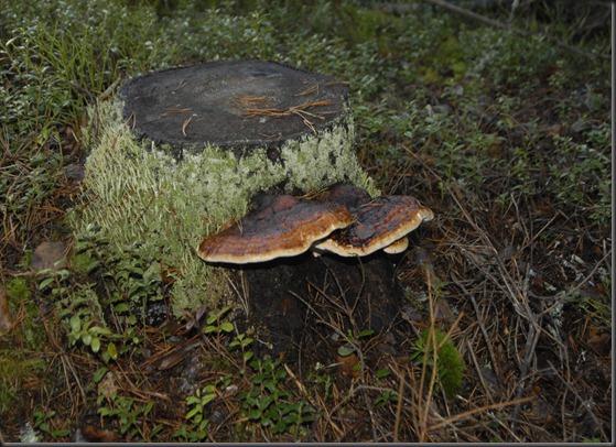 suomalainen syys metsä suppilovahvero 030