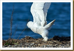 - Snowy Owl Taking off D7K_9403 November 25, 2011 NIKON D7000