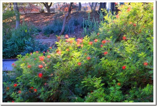131124_UCD_Arboretum_AustralianCollection_Grevillea-Masons-Hybrid_08