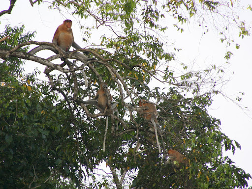 A family of proboscis monkeys
