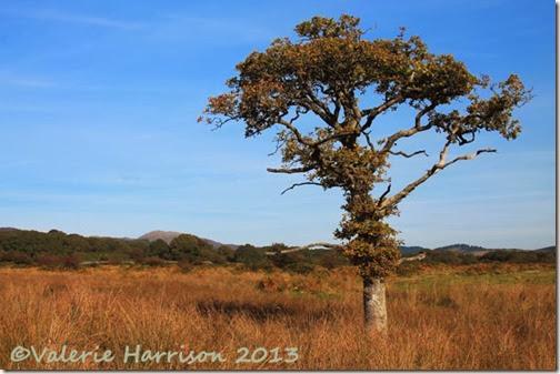 37-oak-tree