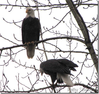 couple of eagles