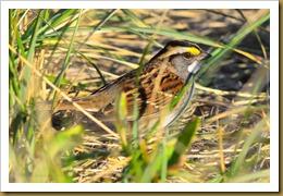 untitled White-thrated Sparrow - white morph-D7K_8323 November 03, 2011 NIKON D7000