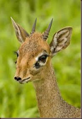 Amazing Pictures of Animals photo Nature, exotic, funny, incredibel Zoo, Dik-dik, antelope. Alex (7)
