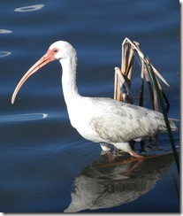 Ibis wading for a fish