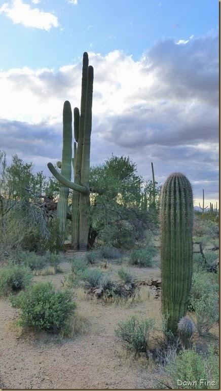 Saguaro NP West_045