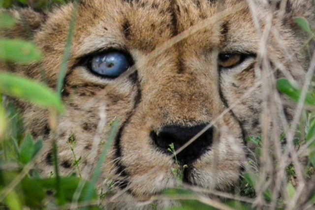 Cheetah, blind in one eye after colliding with woody vegetation, Namibia. Namibia is under invasion by multiplying armies of thorny trees and bushes, which are spreading across its landscape and smothering its grasslands. Photo: The AfriCat Foundation