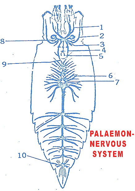 Palaemon prawn nervous system sense organs biozoom palaemon nervous system prawn ccuart Image collections