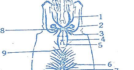 Palaemon prawn nervous system sense organs biozoom ccuart Images