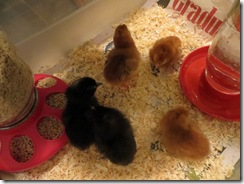 BBC chicks 03