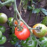 堆肥場の野良トマト