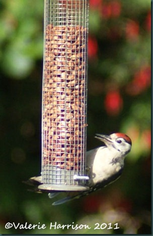 3 great-spotted-woodpecker-juv